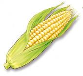 トウモロコシの乾燥例
