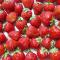 イチゴの粉末化