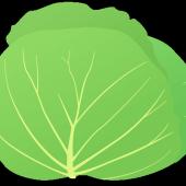 キャベツの乾燥例