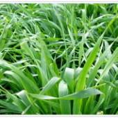 大麦若葉の粉末化